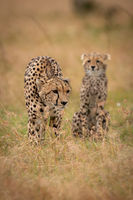 Cheetah stands beside sitting cub in grass