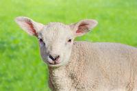 Close up portrait of one newborn white  lamb