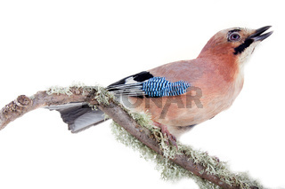 Multicolored Jay with blue mirror on wing. Bird portrait