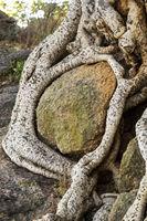 Wurzeln eines Sykomore Baums umschlingen einen Felsblock, Äthiopien