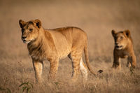 Male lion stands in grass with lioness