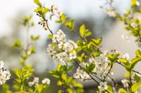 Blooming branches of cherry tree or gean tree. Close up of flowering branches in polish orchard.