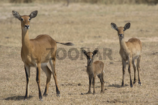 female of different ages and young KOB in the Ugandan savannah in the dry season