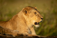 Lioness lies with mouth open on rock