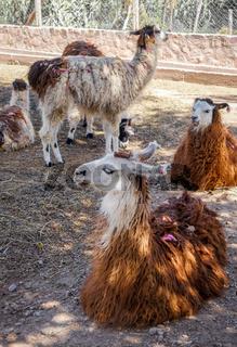 Lamas in a farm