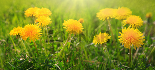 Close up flowers yellow dandelions.