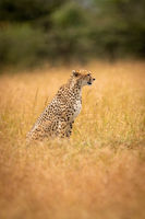 Cheetah sitting in long grass by trees