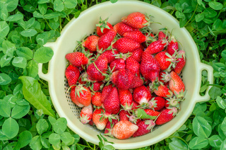 Red strawberries in a yellow bowl. Freshly picked organic strawberries from the home garden. Green background of clover. Natural food, healthy lifestyle