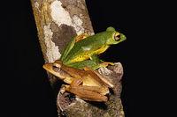 Malabar flying frog and common tree frog, Rhacophorus malabaricus, Rhacophorid, Agumbe ARRSC, Karnataka