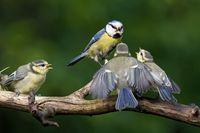 Blaumeise füttert Ästlinge