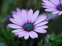 Nahaufnahme der Blüte einer Bornholm-Margerite