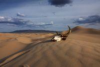 Bull skull in the sand desert at sunset