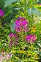 Spinnenblume, Cleome spinosa - Spider flower or Cleome spinosa in summer