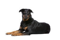 Beauceron or French Short haired Shepherd