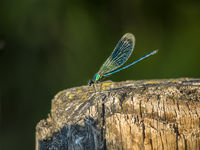 Dragonfly on a pole near a stream