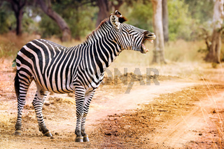 Muedes Zebra, South Luangwa Nationalpark, Sambia, (Equus quagga) | Tired Zebra with a young one, South Luangwa National Park, Zambia, (Equus quagga)