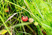 Strawberries ripe in the grass