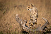Cheetah cub standing on log looks down