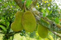 Jack fruits tree.