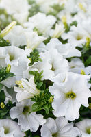 Closeup of white petunia flowers in the sun