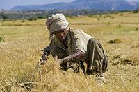 Bauern bei der Ernte von Teff (Eragrostis tef) mit der Sichel