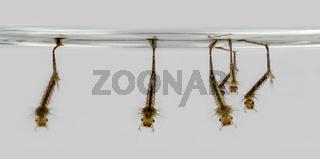 Schnakenlarven hängen an der Wasseroberfläche vor grauem Hintergrund