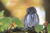 Eurasian pygmy owl-Swabian Jura,Swabian Alps,Baden-Württemberg, Germany