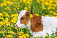 Portrait of newborn calf lying in meadow with dandelions