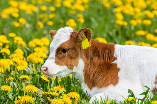 Portrait of newborn calf lying in meadow with dandelions