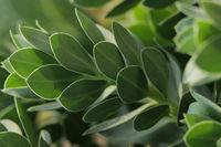 Wolfsmilchgewaechs (Euphorbiaceae)
