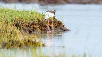 Black-winged stilt bird