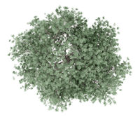 olive tree isolated on white background. top view. 3d illustration