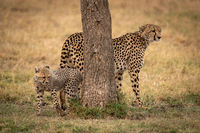 Cheetah stands behind tree with her cub