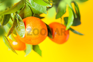 Oranges on a branch. Citrus fruits growing on tree. Isolated on a white