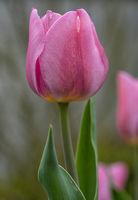 Tulip in springtime, Tulipa