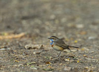 Bluethroat, Luscinia svecica, Bharatpur, Rajasthan, India