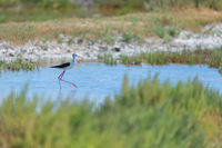 black-winged stilt walking in water