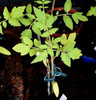 Tomaten, Lycopersicon, esculentum, Gemuese, Keimling