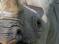 full frame close up of the face of a black rhinoceros with eye nose and horn