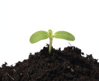Sonnenblume, Helianthus, annuus, Keimling