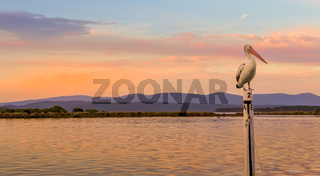 Pelican roosting at Mallacoota
