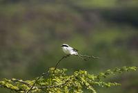 Great grey shrike, Lanius excubitor, Saswad, Pune district, Maharashtra, India.