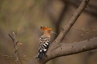 Common Hoopoe, Upupa epops, Jhalana, Rajasthan, India.  Notable for their distinctive crown of feathers