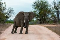 Single African elephant bull walking in a road
