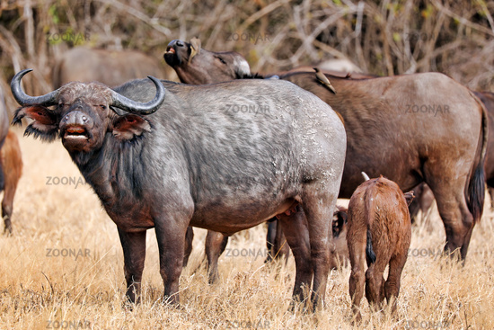 Afrikanische Bueffel mit Jungtier, South Luangwa Nationalpark, Sambia, (Syncerus caffer) | african buffalos with a young one, South Luangwa National Park, Zambia, (Syncerus caffer)