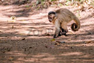 Azaras's Capuchin or Hooded Capuchin, Sapajus Cay, Simia Apella or Cebus Apella, Nobres, Mato Grosso, Pantanal, Brazil
