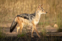 Black-backed jackal walks through grass in sunshine