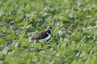 Northern Lapwing (Vanellus vanellus)  Germany