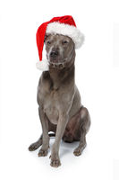 beautiful thai rifgbeck dog in christmas cap