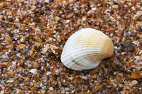 Seashell on wet beach